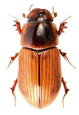 Bodilopsis sordida 1.jpg