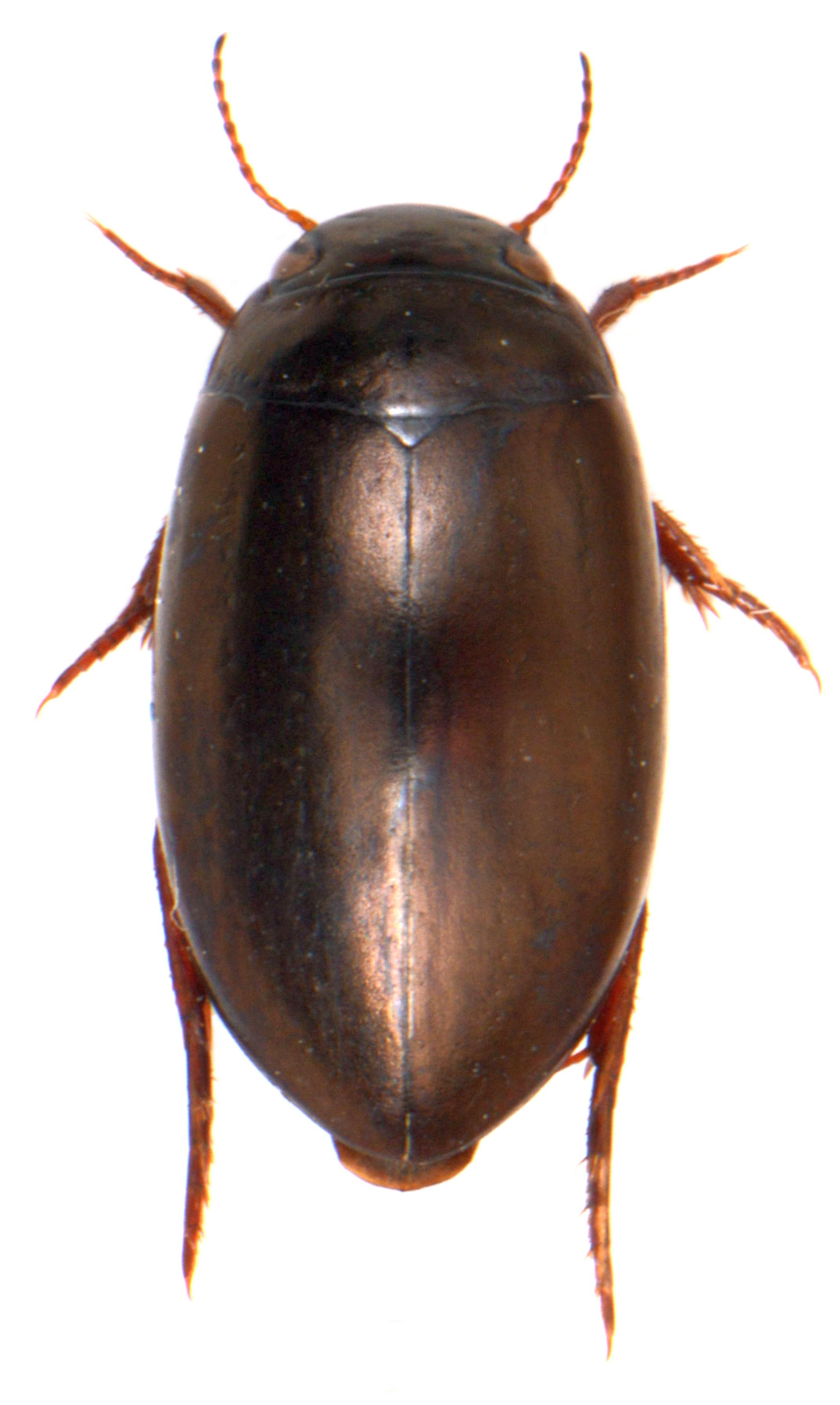 Ilybius chalconatus 1