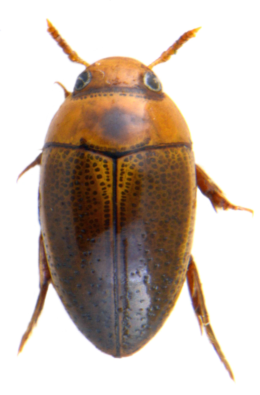 Noterus clavicornis 3