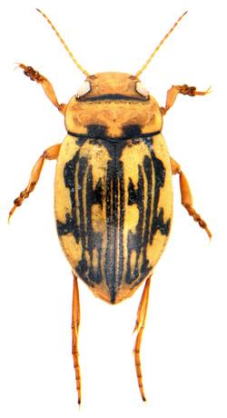 Nebrioporus elegans 3