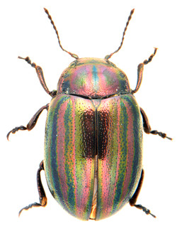 Chrysolina cerealis 1
