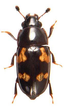 Glischrochilus quadriguttatus 2