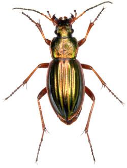 Carabus auratus ♀