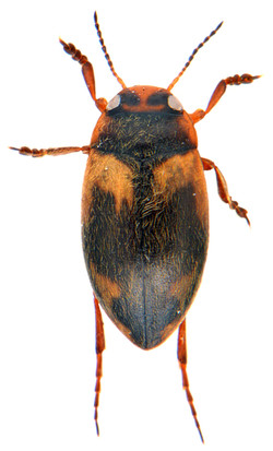 Hydroporus palustris