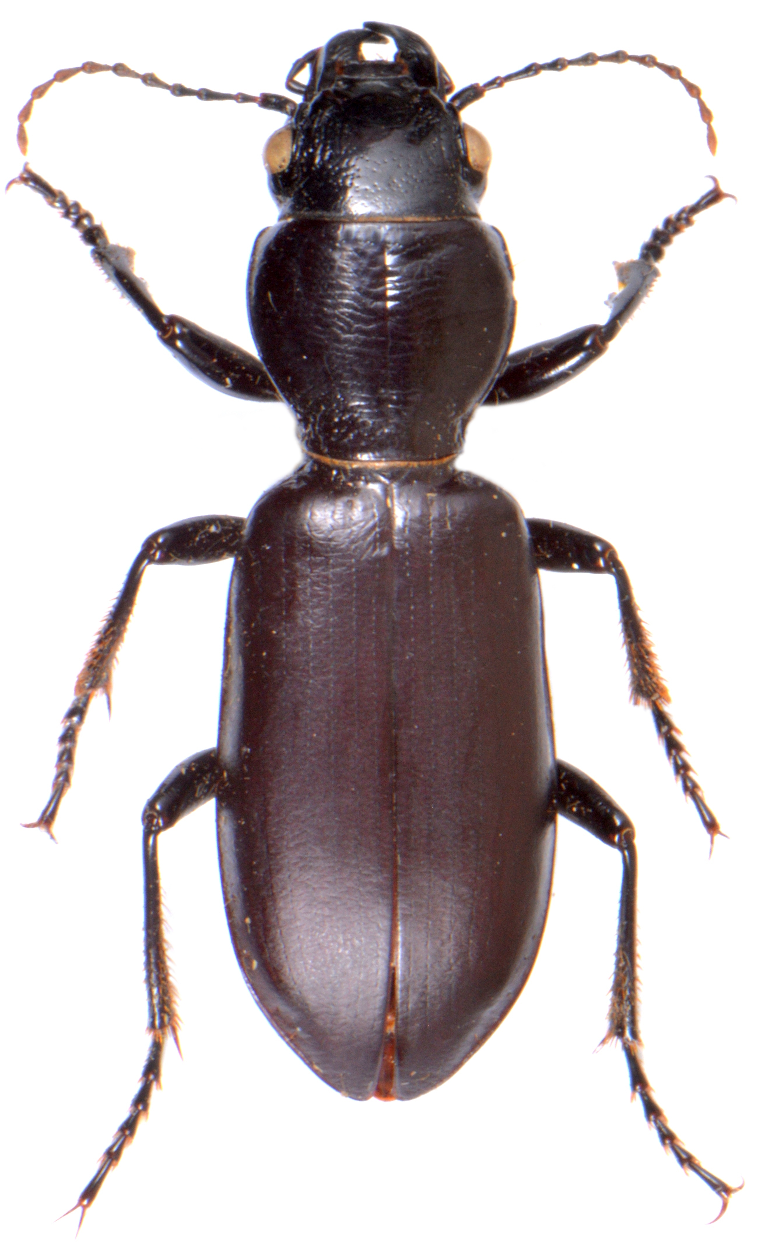 Broscus cephalotes 1