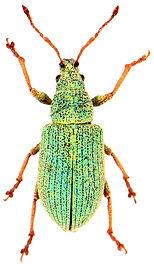 Phyllobius viridearis 1.jpg