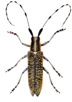 Agapanthia villosoviridescens 2