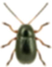 Cryptocephalus exiguus.jpg