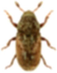 Pteleobius vittatus.jpg