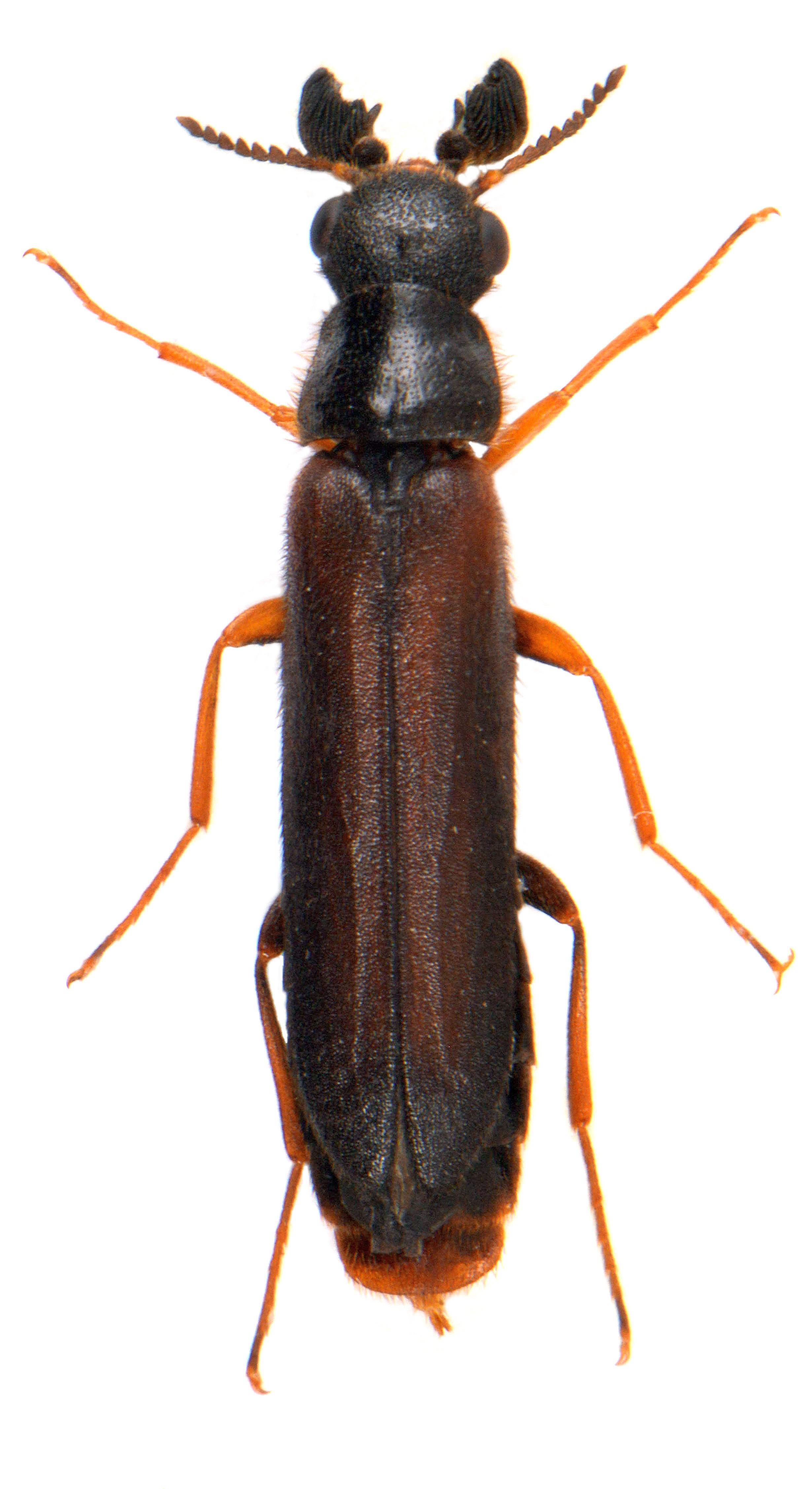 Elateroides dermestoides ♂