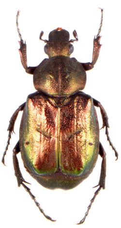 Gnorimus nobilis