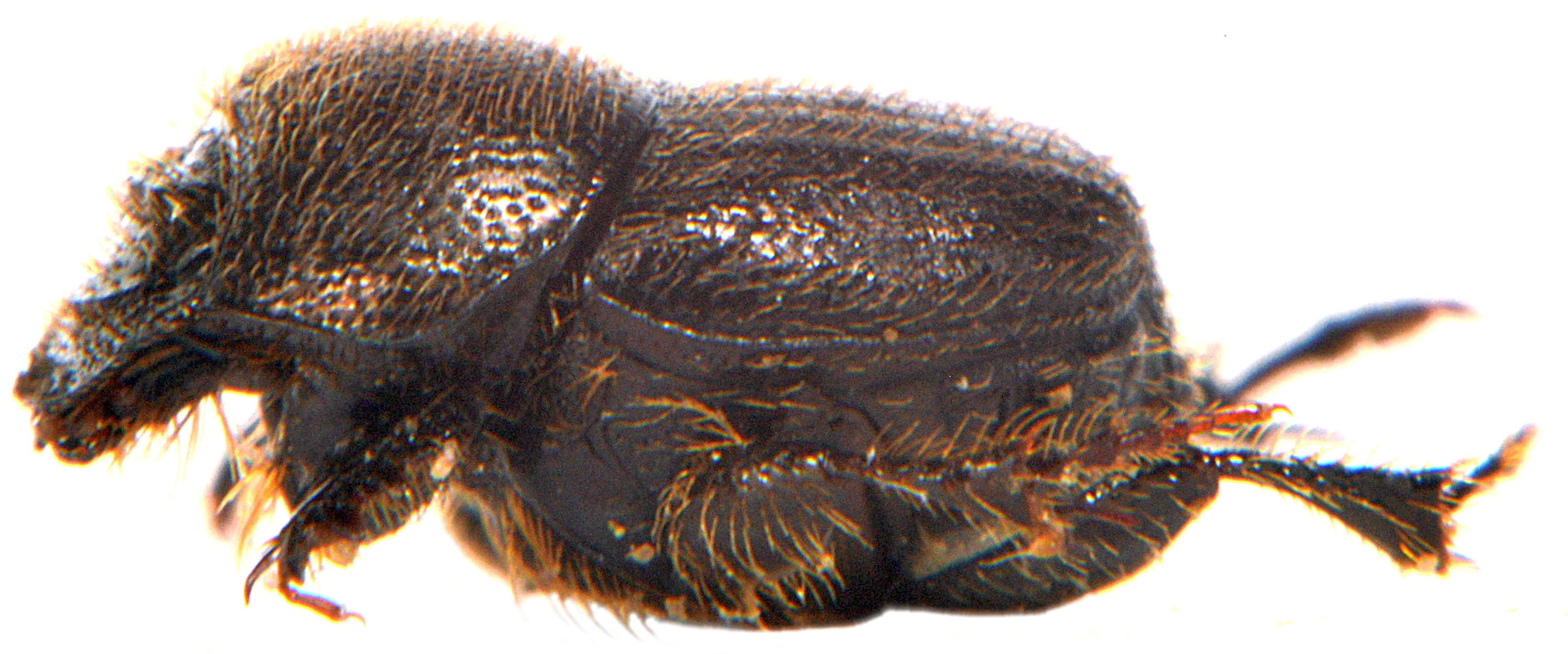 Onthophagus joannae 4