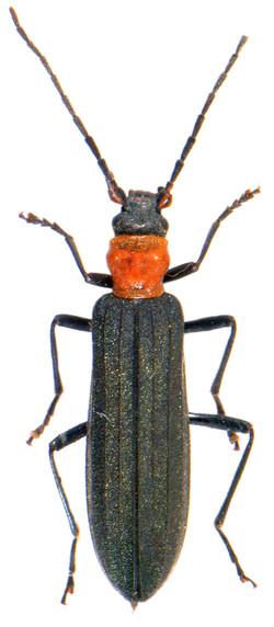 Ischnomera sanguinicollis 2