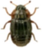 Micropeplus tesserula.jpg