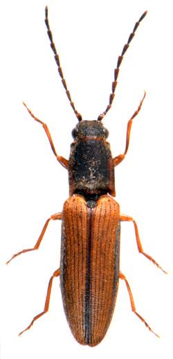 Athous bicolor 2