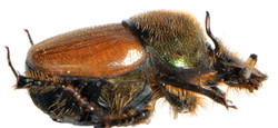 Onthophagus coenobita 5