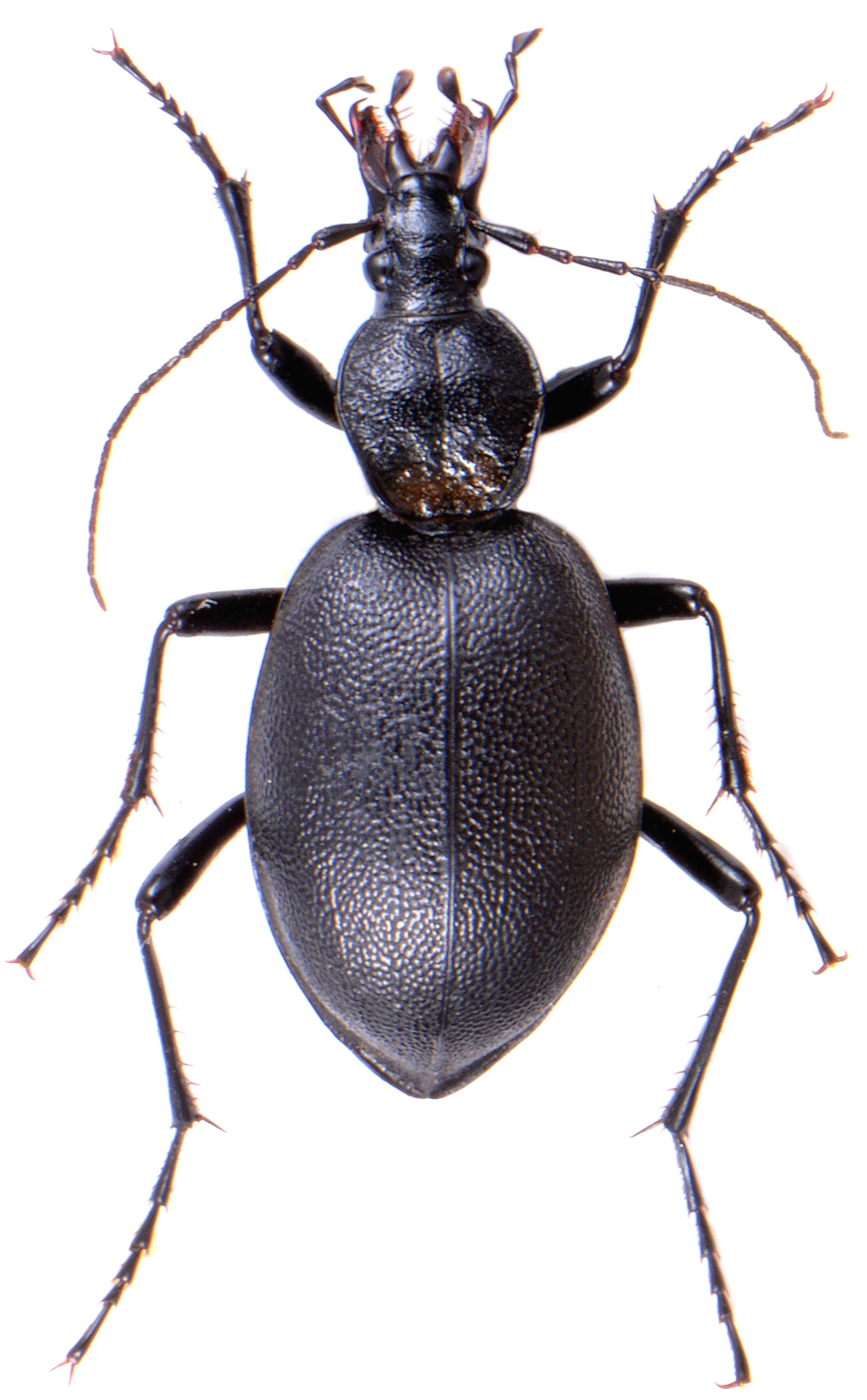 Cychrus caraboides 1