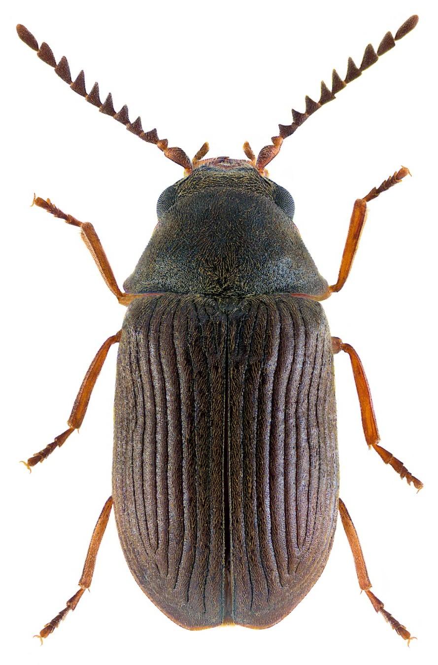 Xyletinus longitarsus