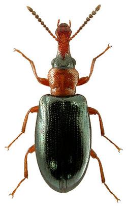 Salpingus ruficollis