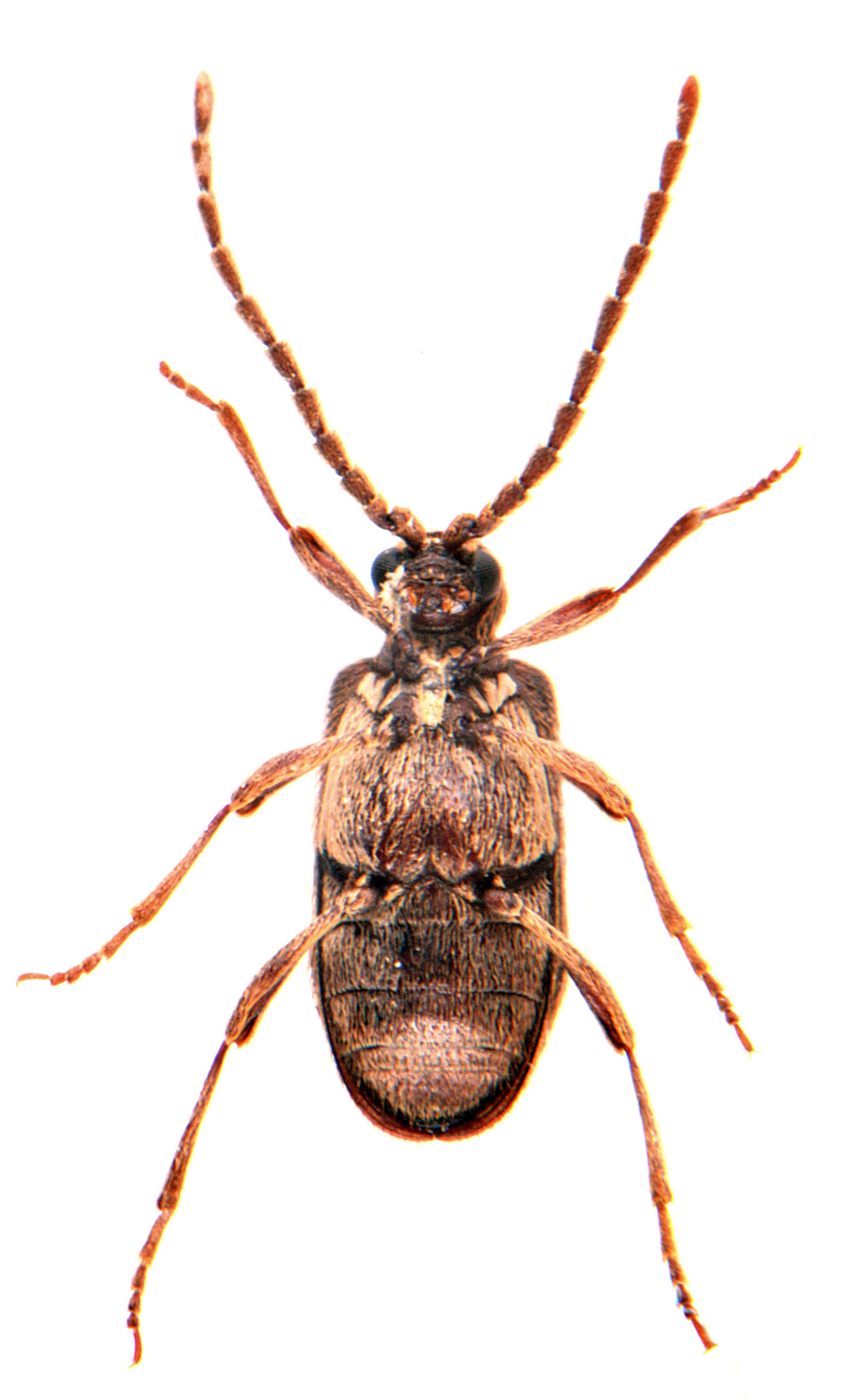 Ptinus sexpunctatus 5