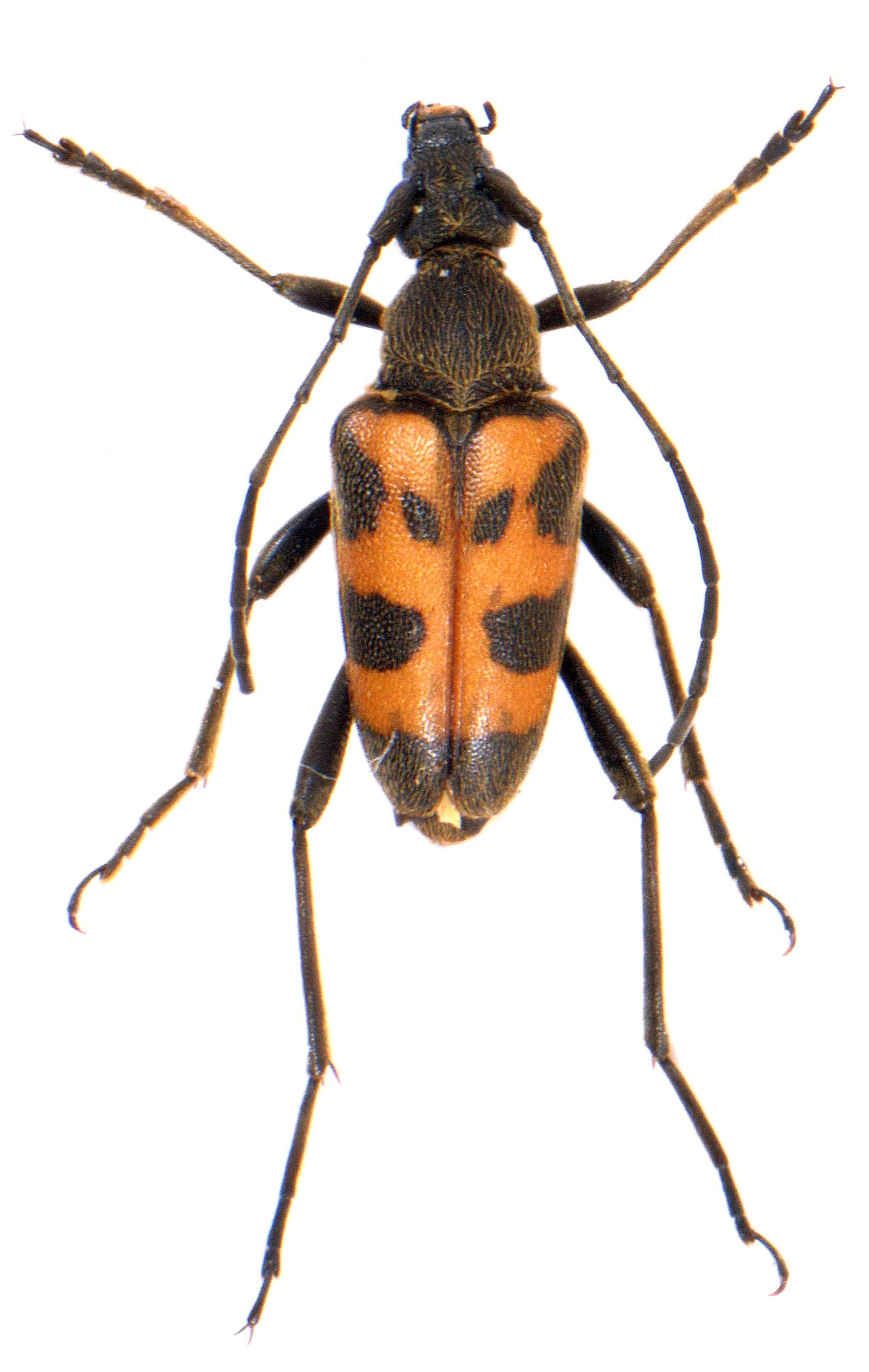 Pachytodes cerambyciformis 2