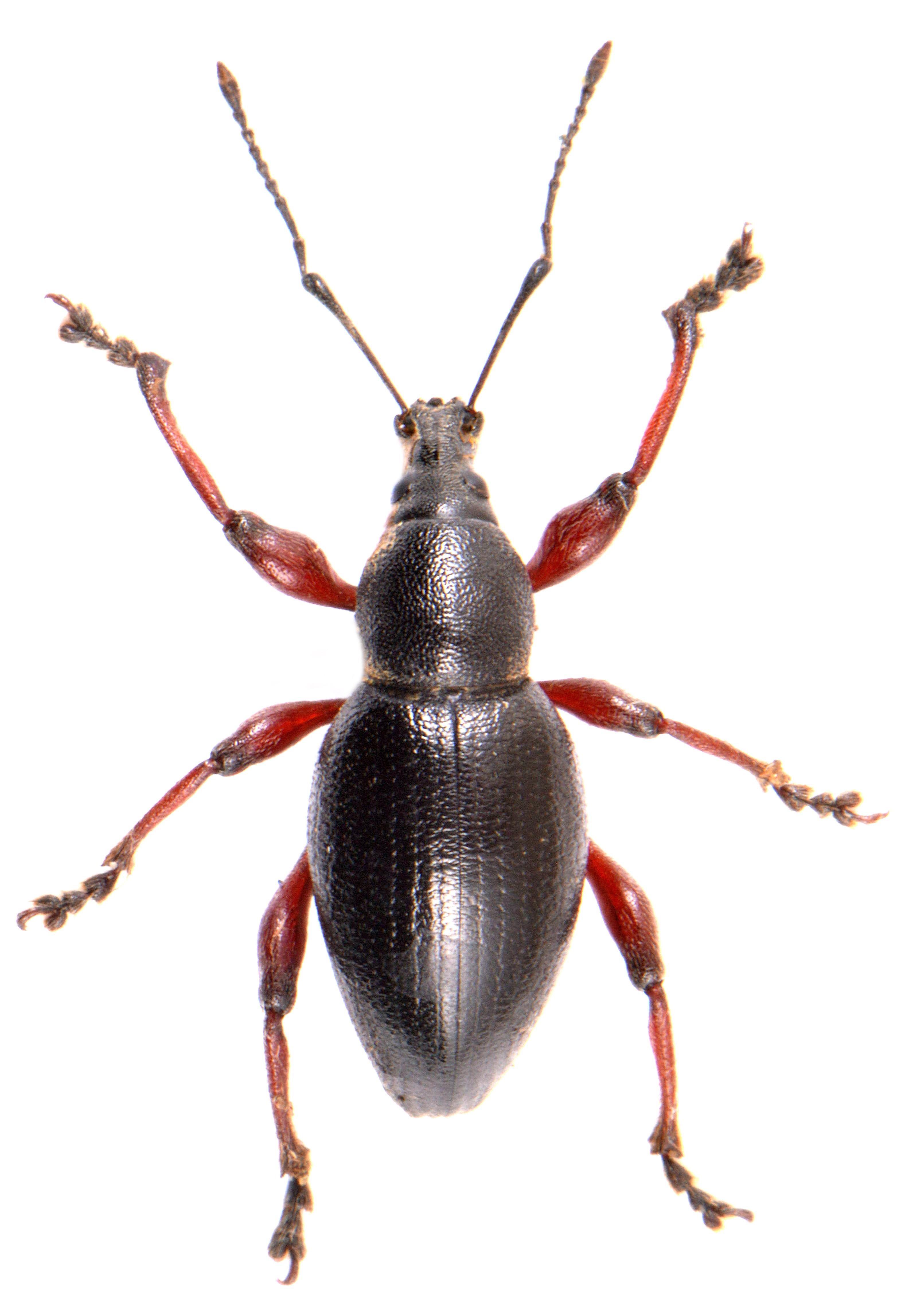 Otiorhynchus tenebricosus 2