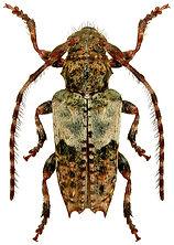 Pogonocherus hispidulus 2LB.jpg