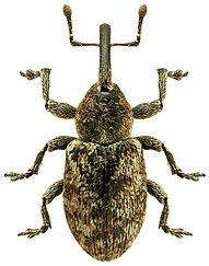Smicronyx jungermanniae.jpg