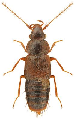 Trichophya pilicornis 1