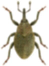 Sibinia pyrrhodactyla.jpg
