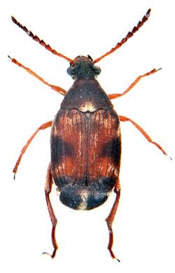 Callosobruchus maculatus 1