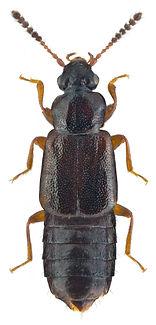 Xylostiba monilicornis.jpg