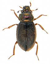 Ochthebius viridis.jpg