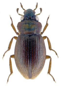 Ochthebius viridis 2