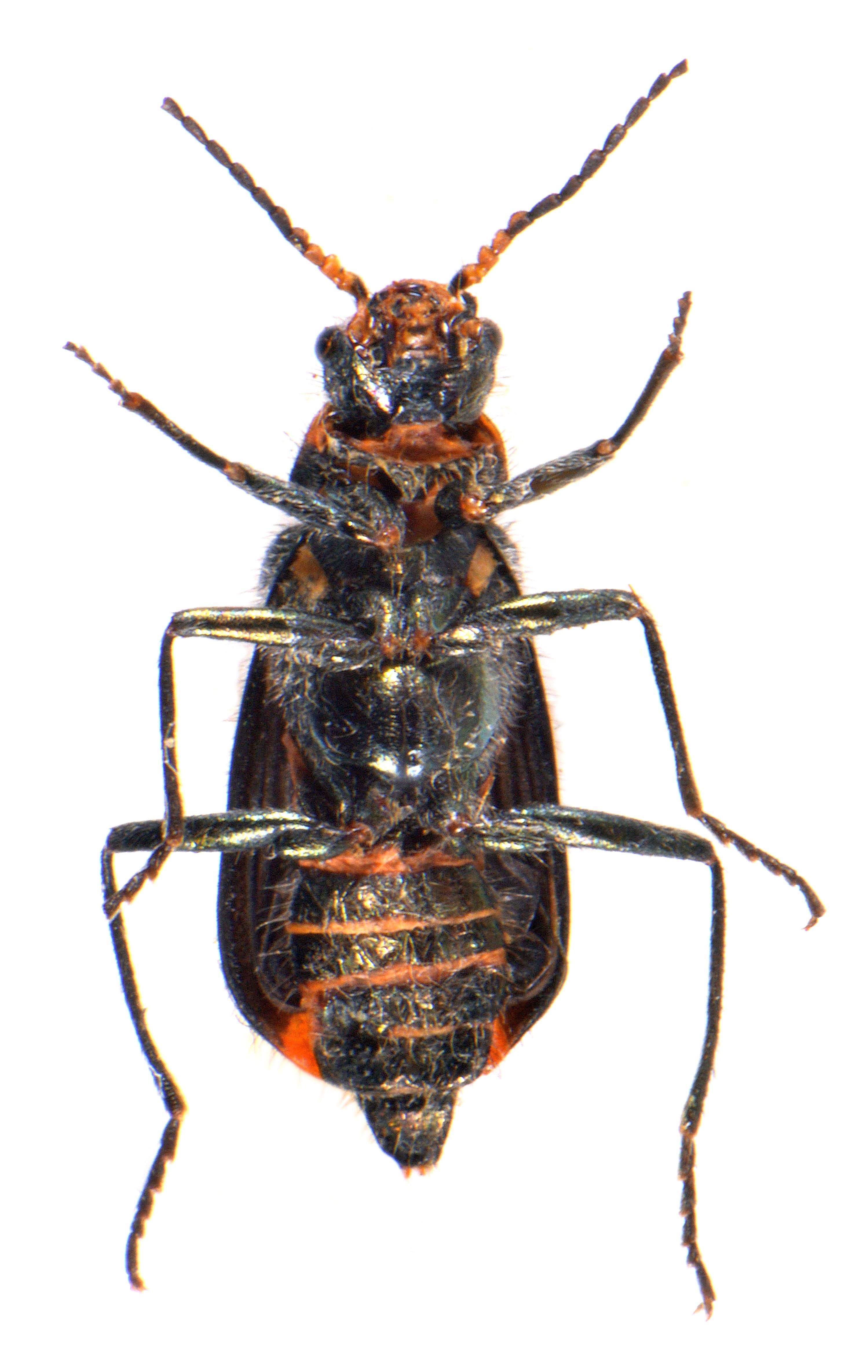 Malachius bipustulatus 3