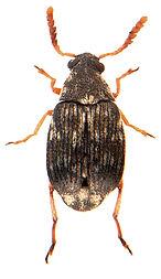 Bruchidius imbricornis 1.jpg
