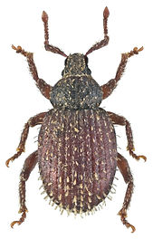Cathormiocerus aristatus.jpg