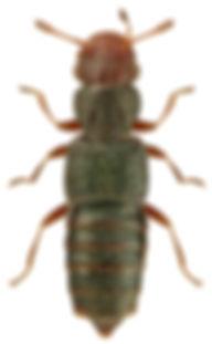 Euaesthetus bipunctatus.jpg