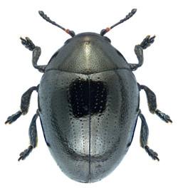 Oomorphus concolor 1
