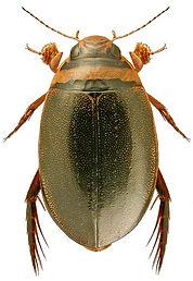Graphoderus zonatus.jpg
