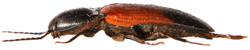 Ampedus balteatus 3
