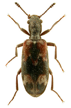Agnathus decoratus (European)