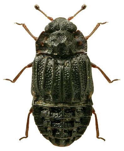Micropeplus porcatus
