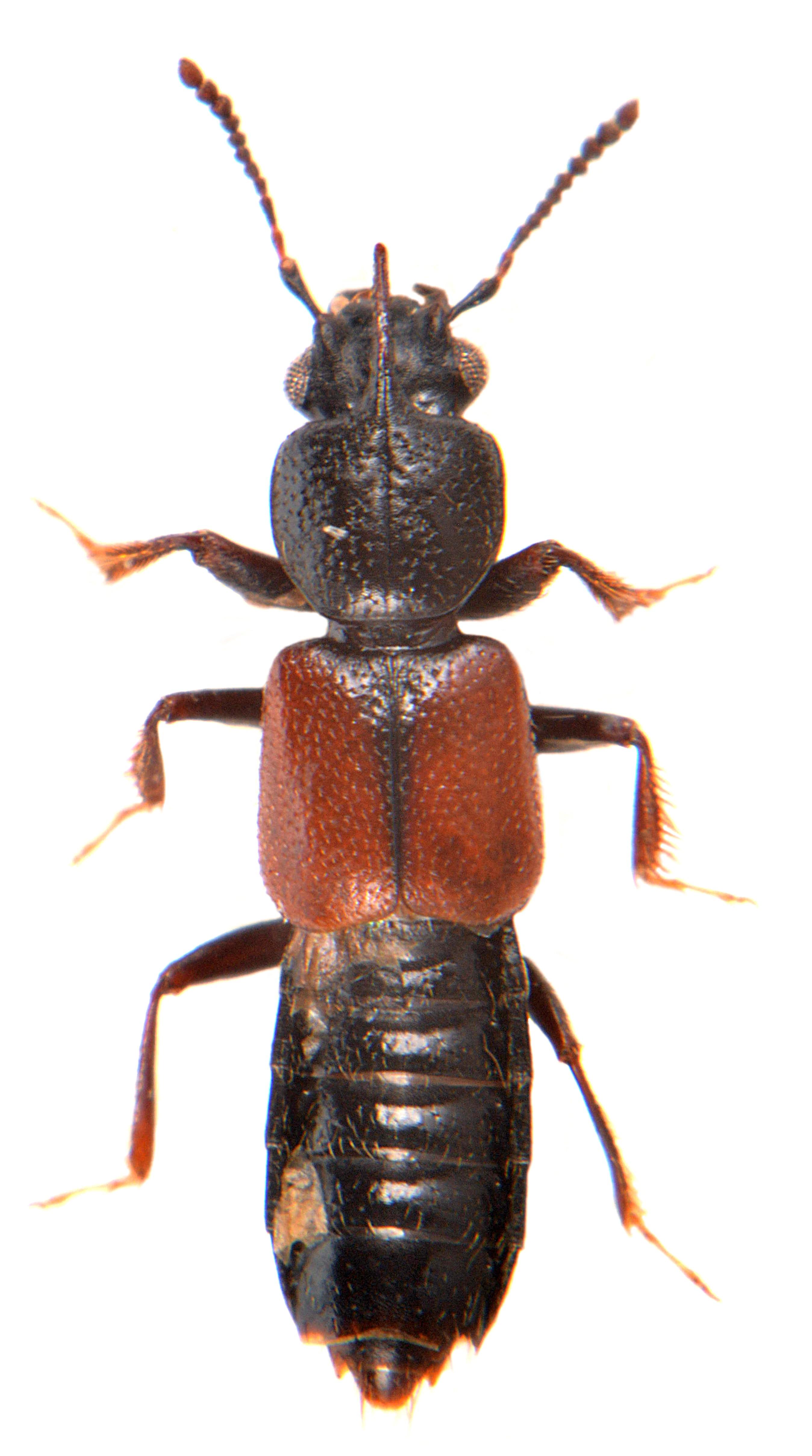 Bledius spectabilis 2