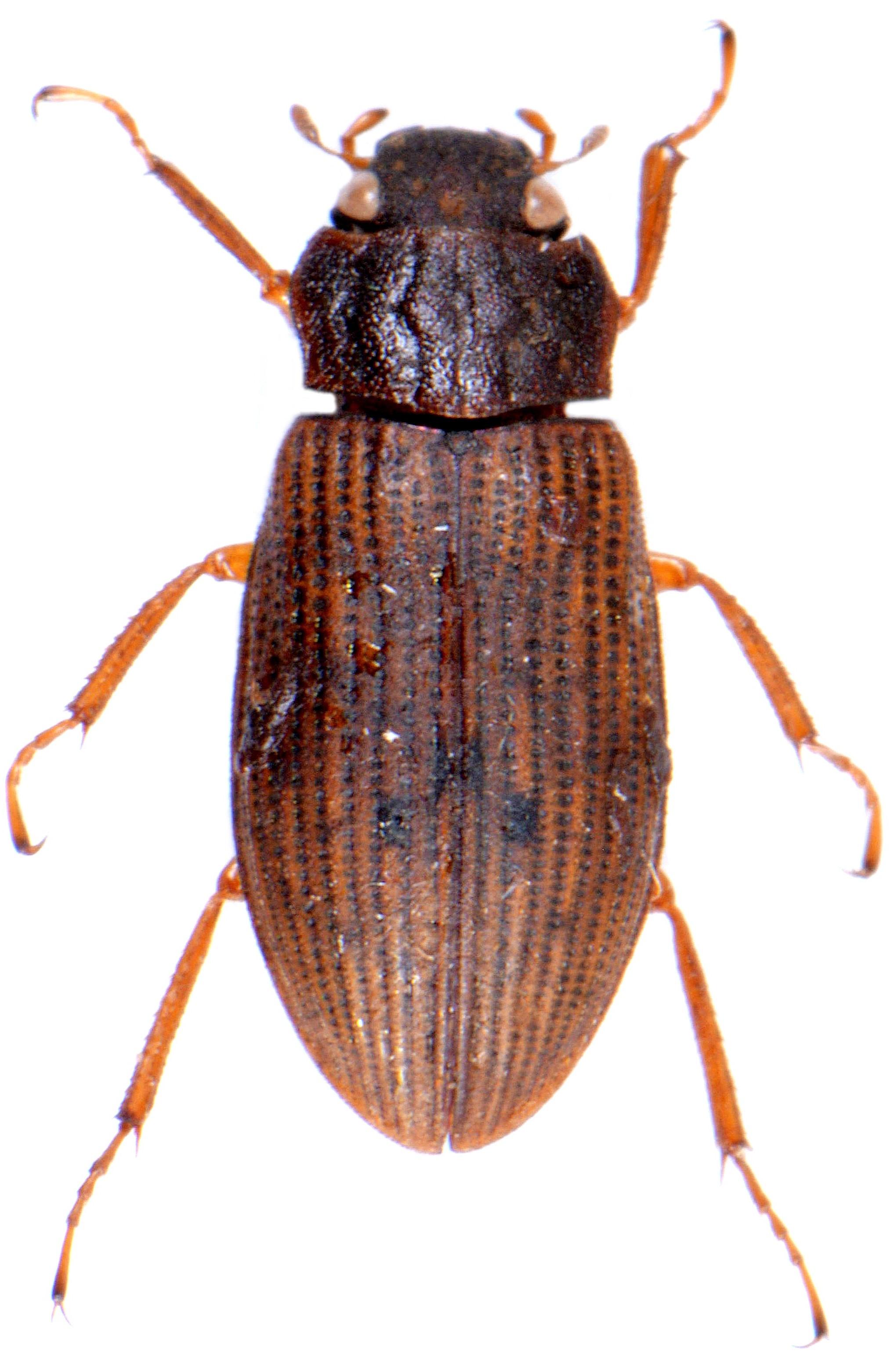 Helophorus grandis 5