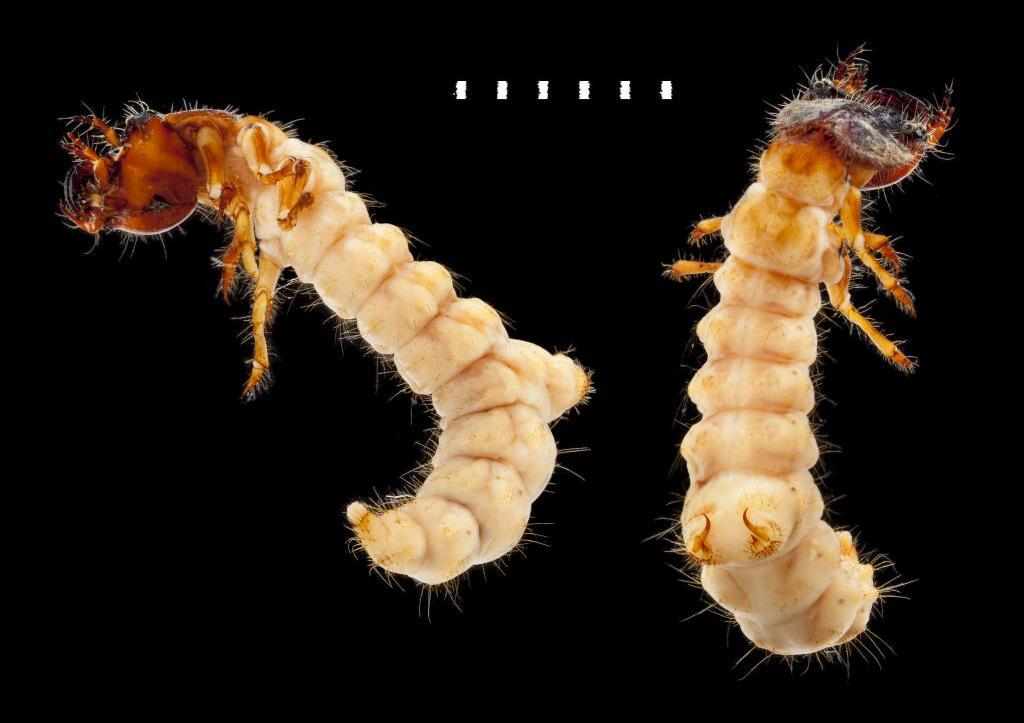 Cicindela campestris larva