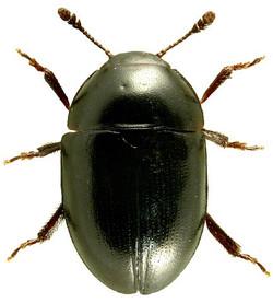 Phalacrus caricis