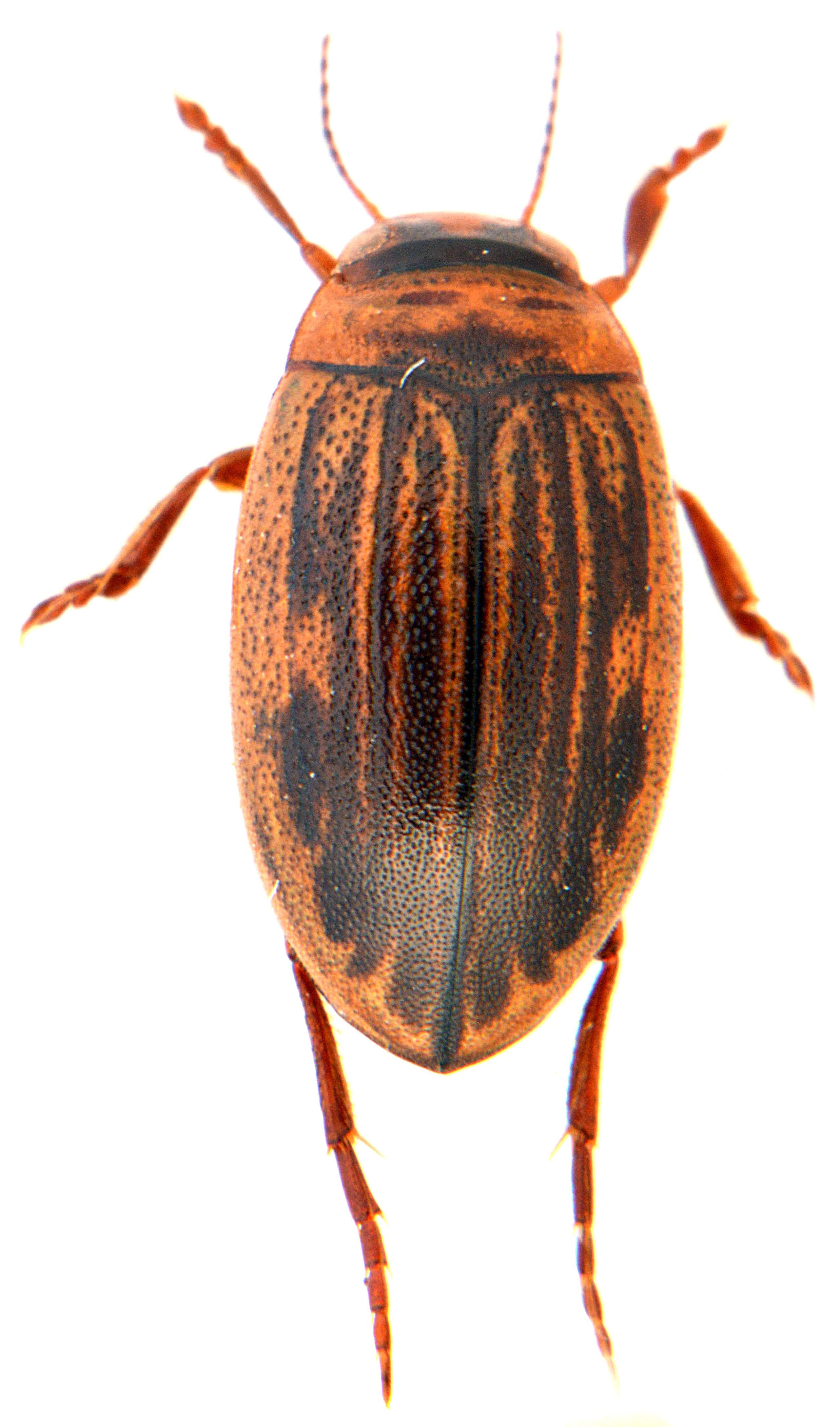 Hygrotus impressopunctatus