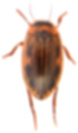 Hygrotus impressopunctatus 2.jpg