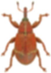 Bradybatus fallax.jpg
